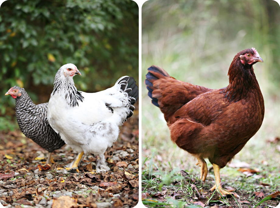 chickens_1v.jpg
